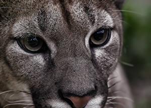 Фотографии Пума Большие кошки Глаза Взгляд Морда Нос