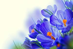 Фотографии Крокусы Вблизи Синий Цветы