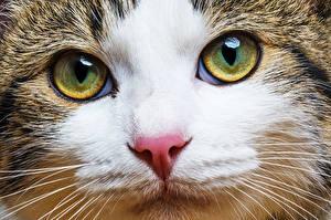 Фото Кошка Глаза Смотрят Морда Усы Вибриссы Носа Животные