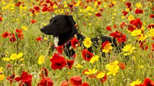 Фото Собаки Луга Мак Животные Цветы