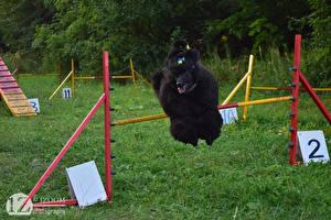 Картинки 1ZOOM Прыжок Трава Пудель