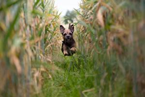 Фотографии Собаки Поля Тропинка Бегущая Щенок Border Terrier Животные