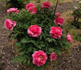 Фото Пионы Кусты Розовый Цветы