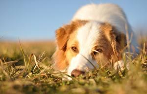Фото Собаки Австралийская овчарка Смотрит