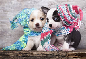 Фото Собаки Щенок Двое Шапки Чихуахуа животное