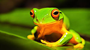 Фотографии Лягушки Глаза Зеленый животное