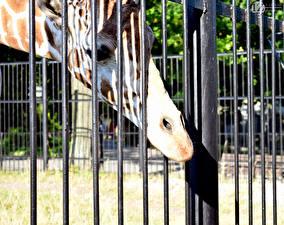 Картинки Жирафы 1ZOOM Ограда