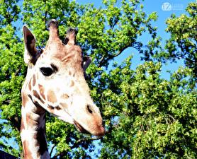 Фотография Жирафы 1ZOOM Голова Животные