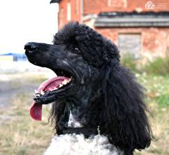 Картинки Собаки 1ZOOM Пудель