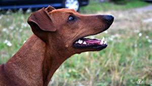 Обои Пинчер Собака Голова 1ZOOM German Животные