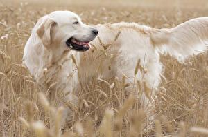 Фотографии Собака Поля Ретривера животное