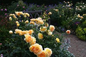 Картинки Великобритания Сады Роза Кустов Rosemoor Garden  Devon Природа Цветы