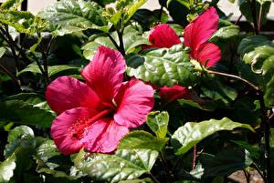 Обои Гибискусы Крупным планом Розовый Листья