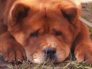 Фото Собака Чау Чау Смотрит Морды Рыжая животное