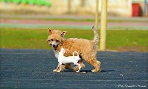 Фотография Собака Китайская хохлатая 2 Чихуахуа Щенка Животные