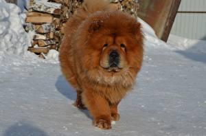 Фотографии Собака Чау Чау Зима Рыжий животное