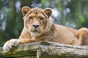Обои Львы Взгляд ©Tambako The Jaguar Животные фото