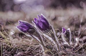 Картинка Крупным планом Прострел Фиолетовый patens цветок