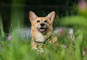 Картинка Собаки Вельш-корги Животные