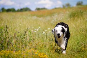 Фотографии Собаки Поля Бордер-колли Трава Животные
