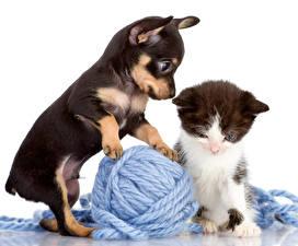 Картинки Собака Коты Пинчер Щенка Котята Двое Животные