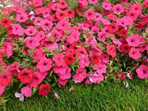 Картинки Петунья Много Розовые цветок