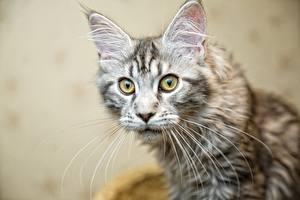 Обои Коты Мейн-кун Смотрит Усы Вибриссы Evgeniy Apin Животные