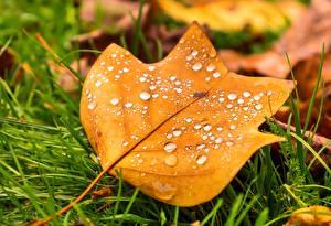 Картинка Осенние Вблизи Листья Капли Трава Природа