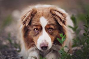 Фото Собаки Австралийская овчарка Щенок Смотрит Dina Telhami