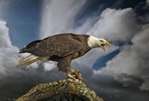Фотография Птицы Орлы Ястреб Белоголовый орлан