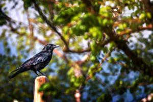 Фотография Вороны Птицы Landing spot Животные