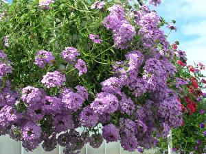 Фотография Вербена Крупным планом Фиолетовых цветок