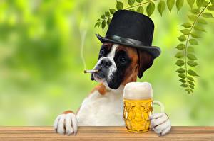 Обои Собаки Пиво Боксера Шляпы Бокал Кружке Животные