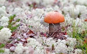 Фотографии Грибы природа Leccinum