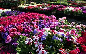 Фото Петунья Много Цветы