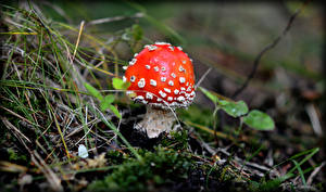 Фотография Грибы природа Мухомор Трава