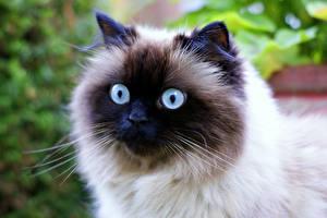 Картинки Кошки Глаза Взгляд Животные