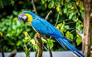 Обои Попугаи Птица Ара (род) животное