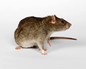 Фотография Крупным планом Крысы Животные