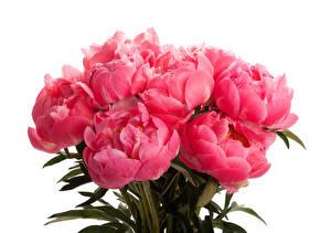Картинка Пионы Букеты Розовый Белый фон Coral Цветы