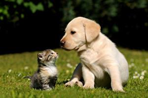 Фото Собаки Кошки Котята Бигль Трава Вдвоем Ретривер Животные