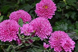 Обои Хризантемы Розовые Цветы