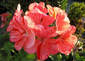 Фото Журавельник Крупным планом Розовый Цветы