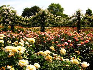 Фотография Великобритания Парк Розы Много Лондон Regent's Park Природа Цветы