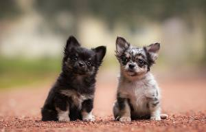 Картинка Собаки Чихуахуа Двое Щенка животное