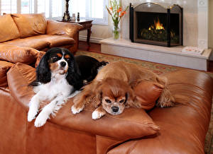 Обои Собаки Спаниель Двое Диван Камин Кинг чарльз спаниель