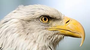 Обои Орел Птицы Клюв Голова Животные