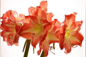 Фото Амариллис Крупным планом Оранжевых цветок