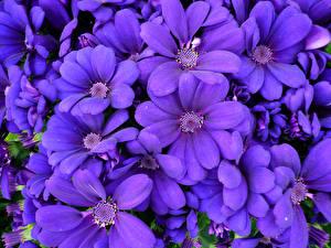 Картинка Цинерария Крупным планом Фиолетовый Цветы
