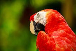 Картинка Попугаи Птицы Ара (род) Красные